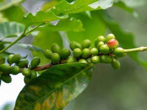 fresh green coffee cherry